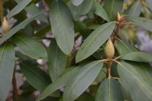 spring-maintenance-checklist-rhododendron