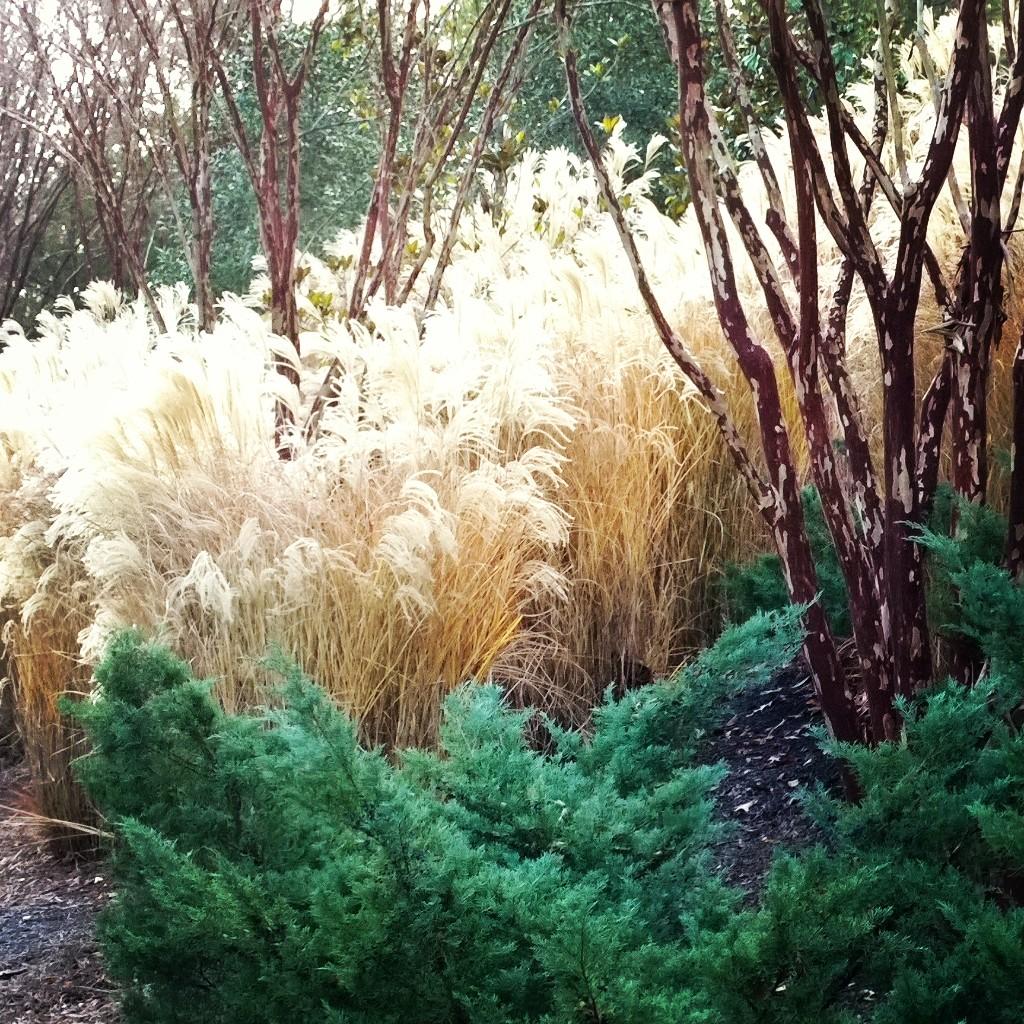 crepe-myrtle-angelica-juniper-maiden-grass-combination