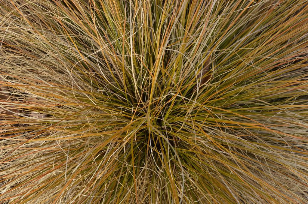 Carex Image