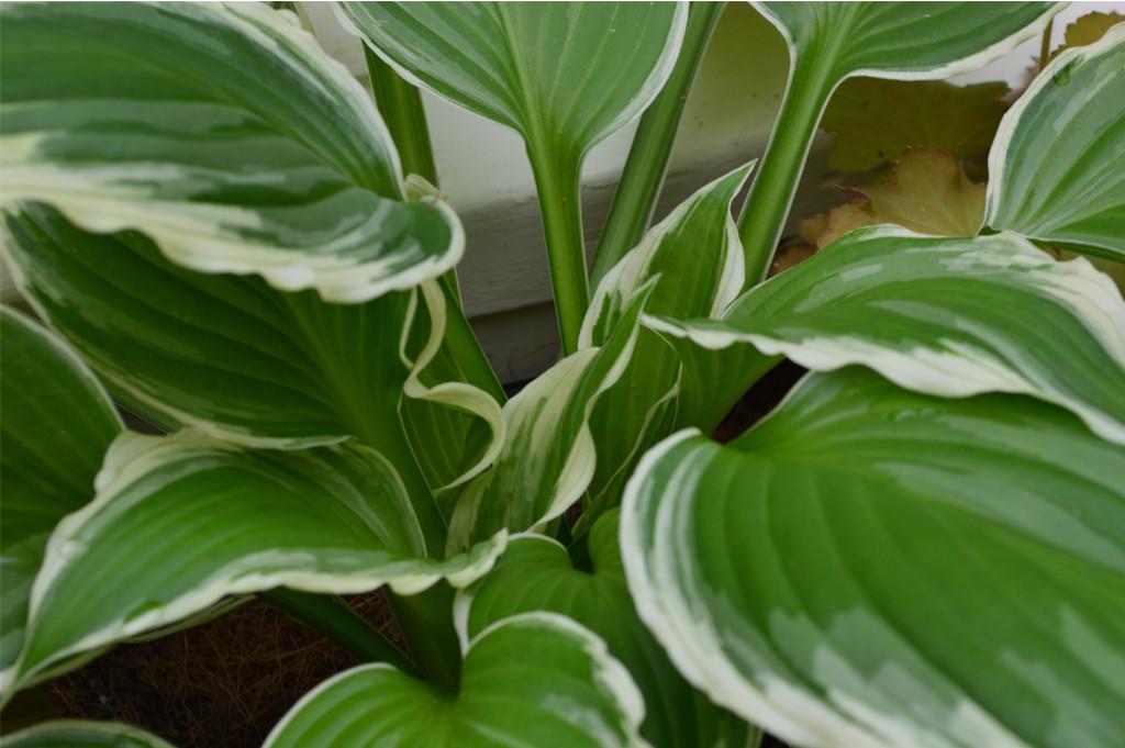 variegated-hostas-carex-design-group