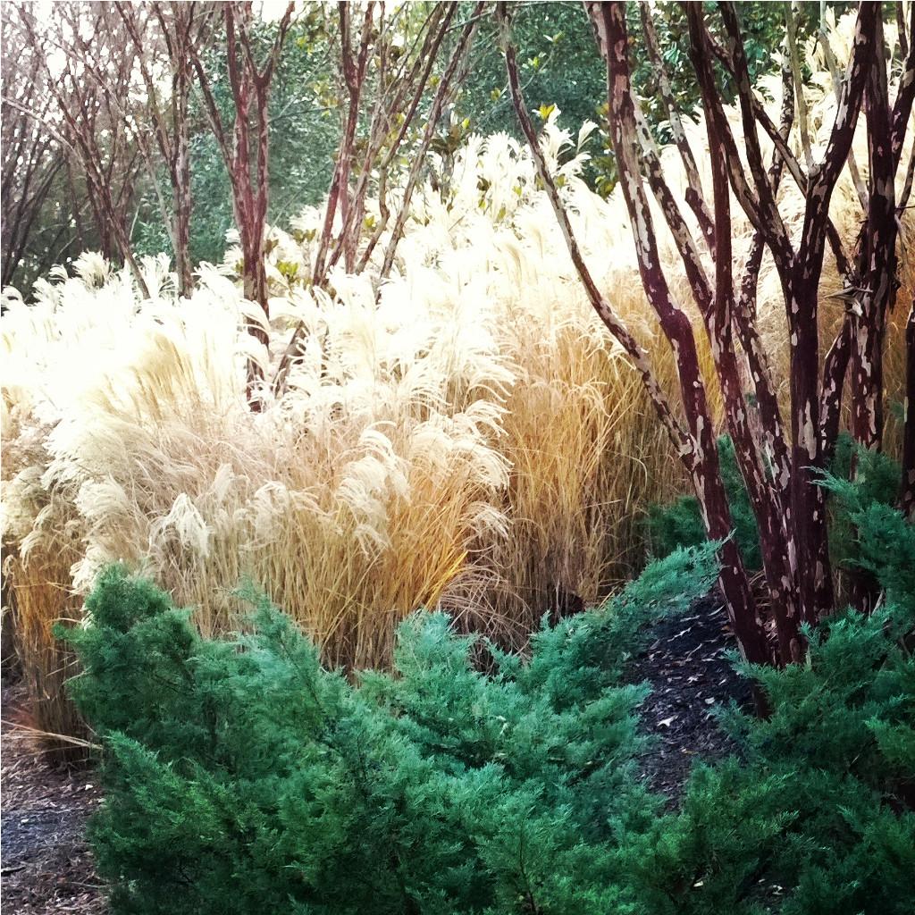Maiden Grass and Crape Myrtles