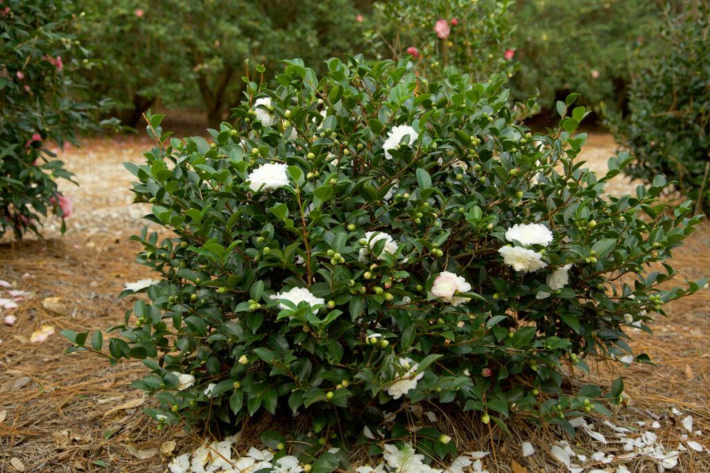 Round evergreen shrub with white blooms